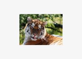 A vadon üzenete: a tigris